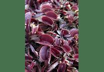 Kit de cultivo - Venus Atrapamoscas