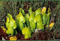 Kit de cultivo Sarracenia purpurea subsp. heterophylla