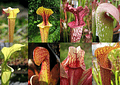 Kit de cultivo - Sarracenia Mix