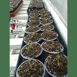 10 droseras - capensis típicas - baby