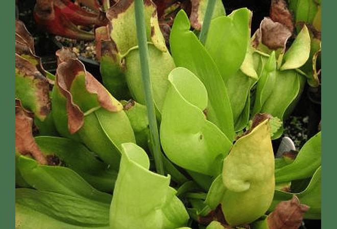 Sarracenia purpurea subsp. heterophylla - Semillas