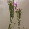 Kit de cultivo - Drosera Capensis Broad leaf