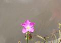 Kit de cultivo - Drosera Capensis Típica