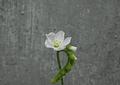 Kit de cultivo - Drosera Capensis Alba