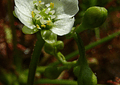 Kit de cultivo - Drosera Intermedia