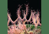 Kit de cultivo - Drosera binata