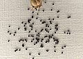 Kit de cultivo Byblis linifora