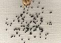 Kit de cultivo - Byblis linifora