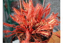 Drosera - capensis All red - Semillas
