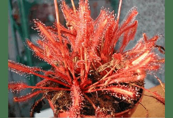 Drosera - capensis All red - Semillas