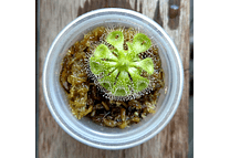Kit de cultivo - Drosera burmanii
