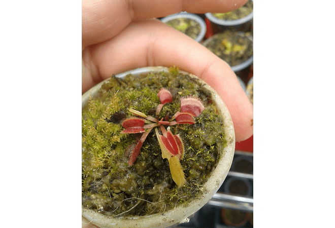 Dionaea Muscipula - Red Dragon