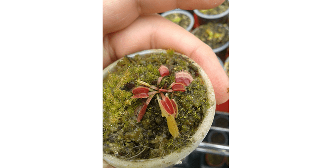 Dionaea Muscipula - Red Sawtooth