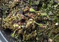 Drosera - Capensis Típica