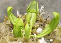 Sarracenia - Purpurea subsp Heterophylla
