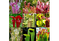 Kit de cultivo sarracenia mix