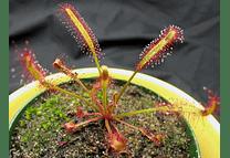 Kit de cultivo drosera capensis típica