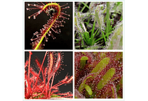 Kit de cultivo - Drosera capensis mix
