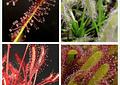 Kit de cultivo - Drosera capensis mix