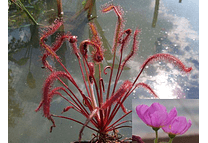 Kit de cultivo - Drosera Capensis All Red