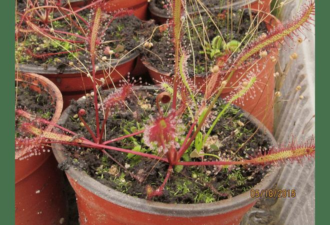Kit de cultivo - Drosera Capensis All Red