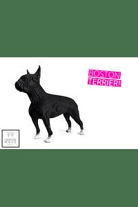 BOSTON TERRIER - ULISES
