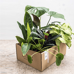 Greenbox Latriana (6 plantas)