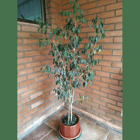 Planta Ficus + Macetero (2 mts de alto)