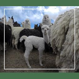 3° Muestra cultural Esquila de Llamas y Alpacas