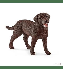 Labrador Retriever, fêmea