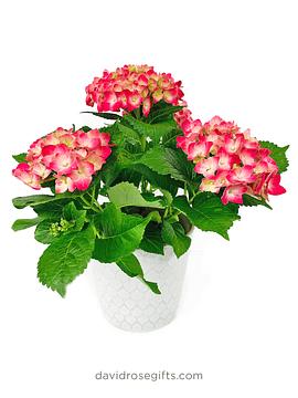 Natural Hydrangea