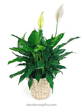 Peace Lily Floor Plant (SPATHIPHYLLUM)