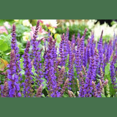 Hidrolato de Salvia