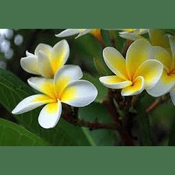 Esencia de monoi tahiti