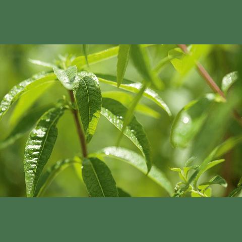 Perfume Telas Verbena Exótica
