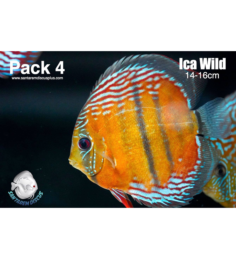 Pack 4 Ica Wild