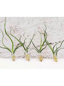 Tillandsia Bulbosa (1-3-6-12 plantas)