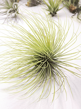 Tillandsia Andreana (1-3-6-12 plantas)