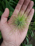 Tillandsia Andreana (1-3-6 plantas)