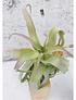 T. Streptophylla + Pedestal
