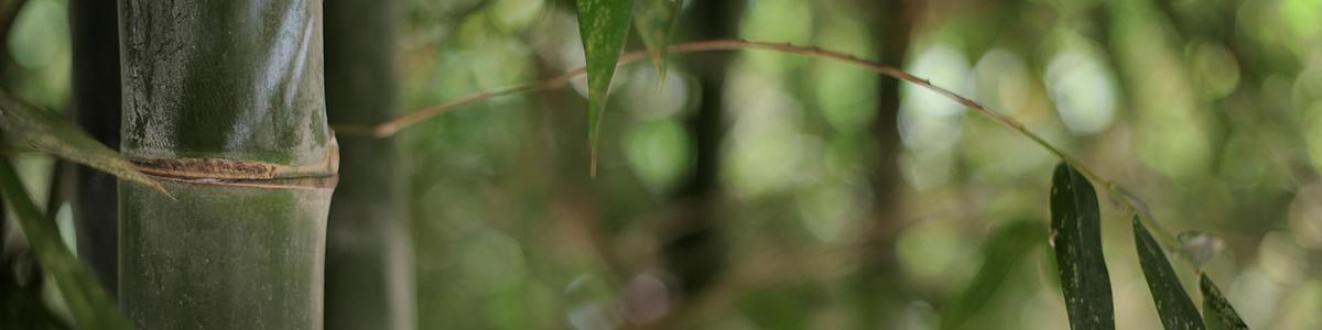 Bambús Nacionales