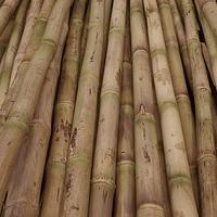 Bambú Colihue pulido