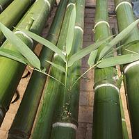Bambú Moso