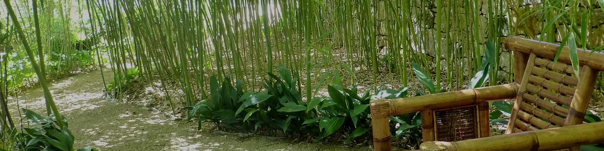 Plantas Vivas de Bambú