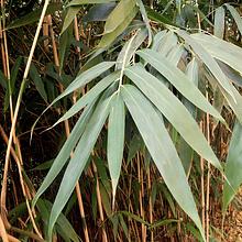Planta Bambú Metake Pseudosasa japónica metake
