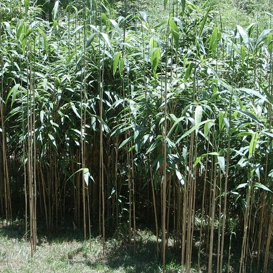 Planta Bambú Metake Pseudosasa japónica metake - Image 2