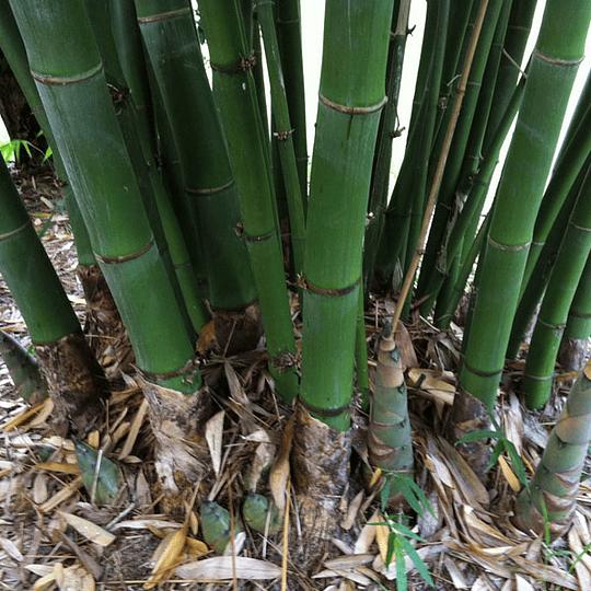 Planta Bambú Palo Grueso Dendrocalamus - Image 1