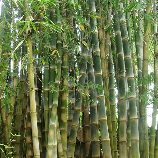 Planta Bambú Palo Grueso Dendrocalamus - Image 2