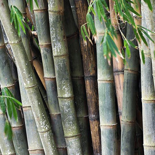 Planta Bambú Palo Grueso Dendrocalamus - Image 3
