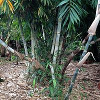 Planta Bambú Palo Grueso Dendrocalamus